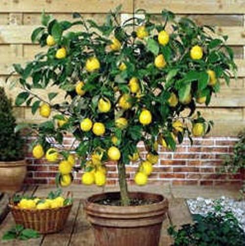 - Entretien d un citronnier ...