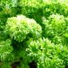 петрушка, кудрявая, зеленая