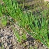 Урожай лука-батуна