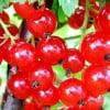 Красная смородина очень полезна для человеческого организма.