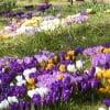 Крокусы на весеннем газоне