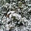 кустарник зимой