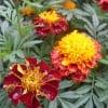 цветы поздней очени