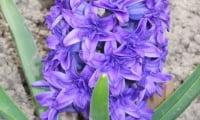 цветение гиацинта