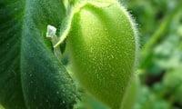 Нут - растение из семейсва бобовых.