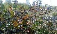 черноплодка