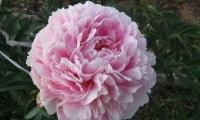 цветок пиона древовидного, розовый