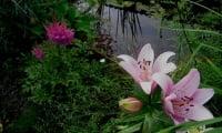 Лилия на берегу водоёма