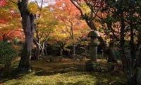 Клены в японском саду