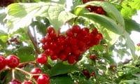 кисть ягод калины красной