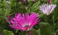 Доротеантус, Mesembryanthemum bellidiformis, Dorotheanthus bellidiformis