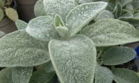 Молодое растение стахиса.