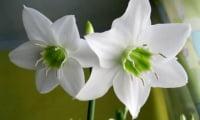 Семейство Амариллосовых в моей цветочной практике