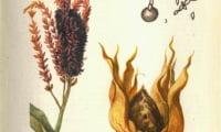 Пыльная головня кукурузы