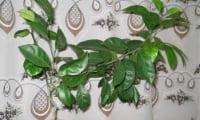 деревце мандарина, вырощенного из косточки