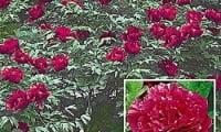 пион, красные цветы, куст, зелень, цветок