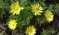 Весенний адонис