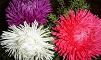 Многоцветье астр.