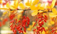 куст барбариса ранней осенью с кисьтю ягод