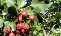Как можно увеличить количество плодов боярышника