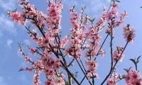 восхитительное по красоте цветение персика весной.
