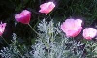 Цветение эшшольции