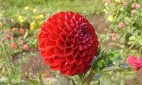 Цветок сорта Барбароса