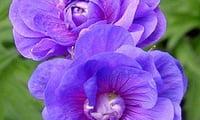 герань -цветок холодных тонов