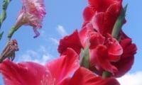 Цветущий гладиолус