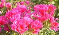 Годеция, цветение