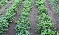 Широкие проходы позволяют растениям свободно развиваться