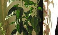 ростки хурмы в горшке