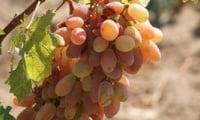 элит виноград