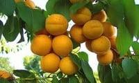 Абрикос- очень привлекательная плодовая культура