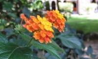 Цветущая лантана