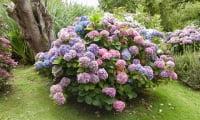 Древовидная гортензия – растение мечты