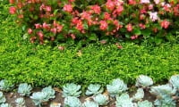 Молодило - каменная роза