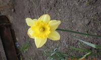 Нарцисс ассоанский, или ситниколистный