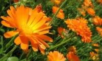 Красивые цветы календулы радуют глаза.
