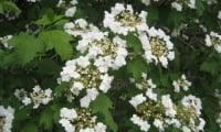 Цветок калины