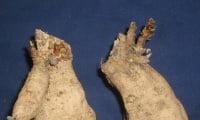Клубни георгины с ростками