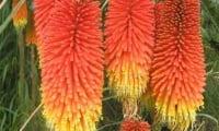 Книфофия ягодная