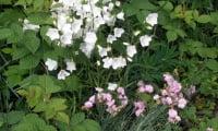 колокольчики в нашем саду