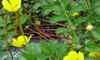 Цветет наша лапчатка в мае, нежно- золотистым цветом.