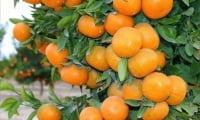 Абхазский мандарин