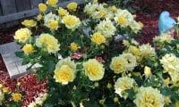 Желтые мини-розы
