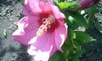 Цветет морозостойкий гибискус
