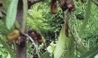 Дерево пораженное Облепиховой мухой