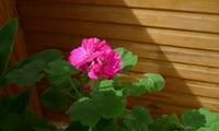 Цветущая розовая пеларгония.