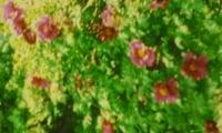 Пион растущий на даче